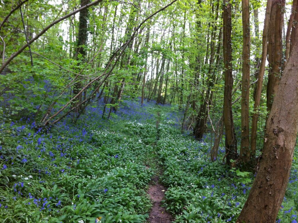 Bluebell wood in the Malverns, Herefordshire